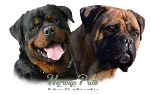 image of a rottweiler and a bullmastiff
